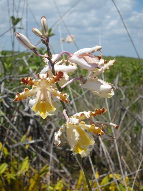 Banana Orchid