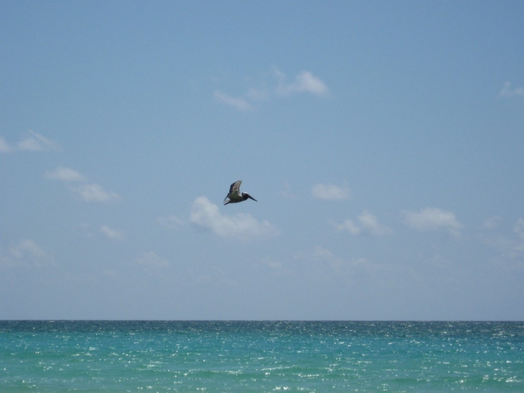 Pelican flying. . .