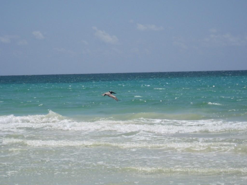 Pelican landing. . .