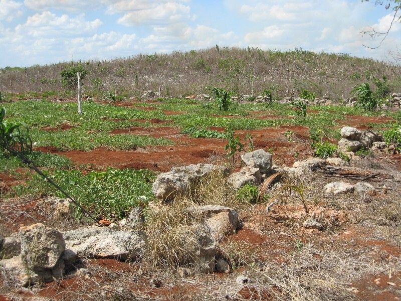 A currently cultivated milpa plot