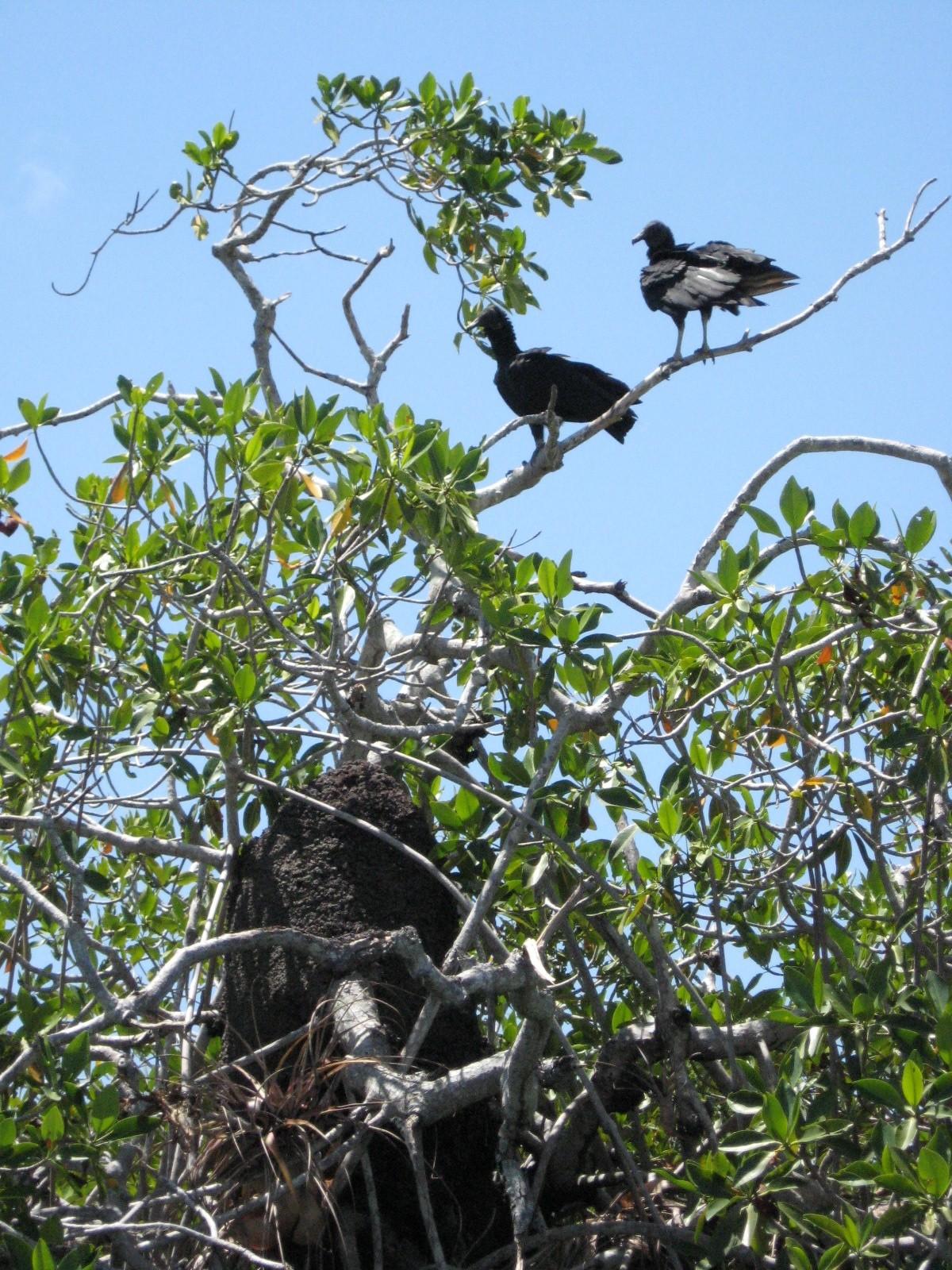 Black vultures above a termite nest